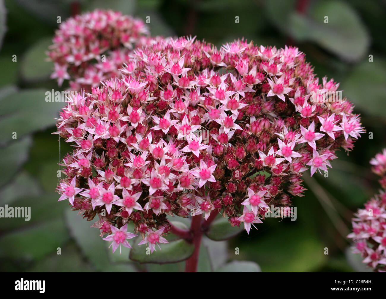 Matrona Showy Stonecrop or Matrona Stonecrop, Telephium 'Matrona', Crassulaceae. A Pink Sedum Cultivar. - Stock Image