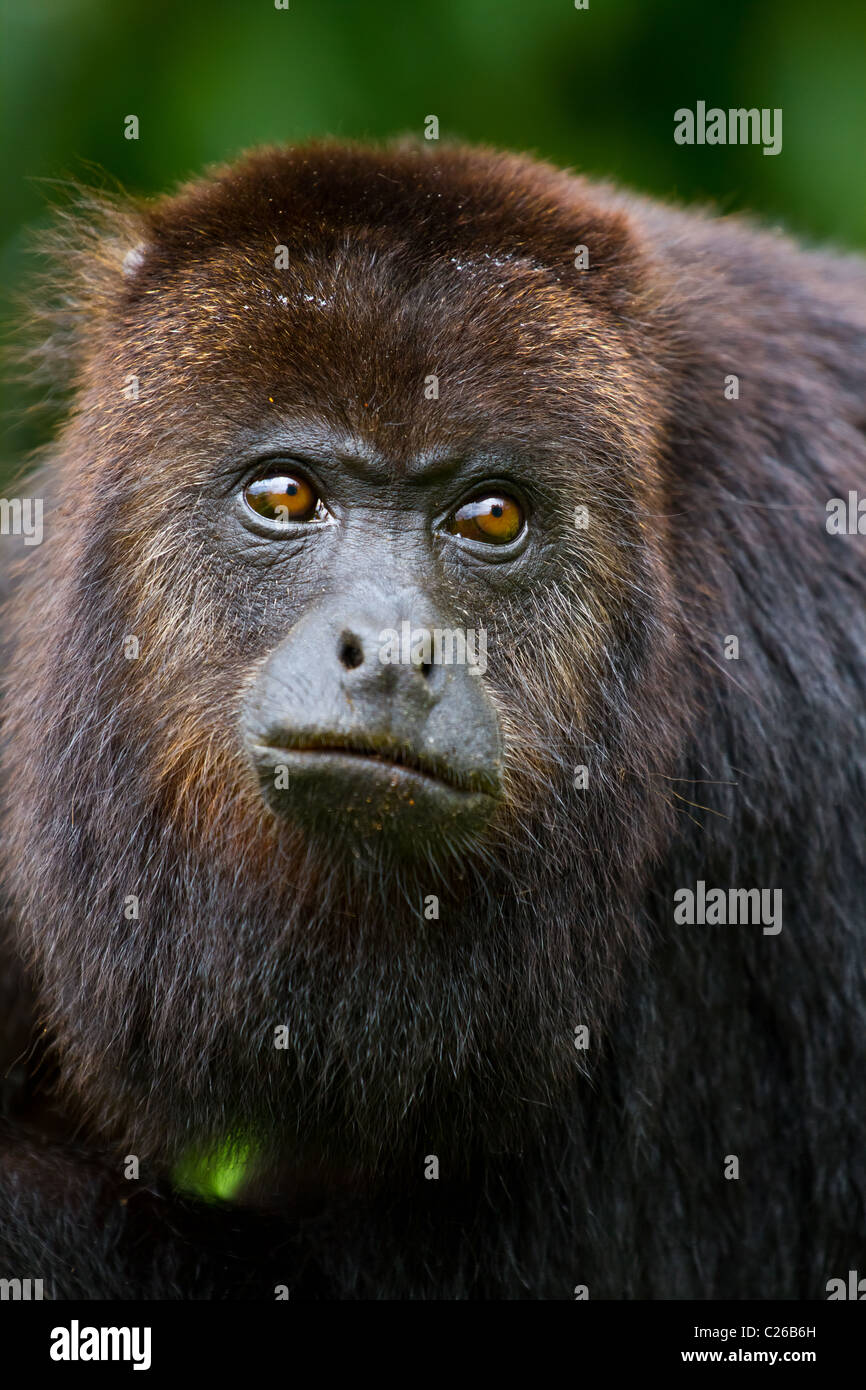 close up of howler monkey in the wild, Belize. - Stock Image