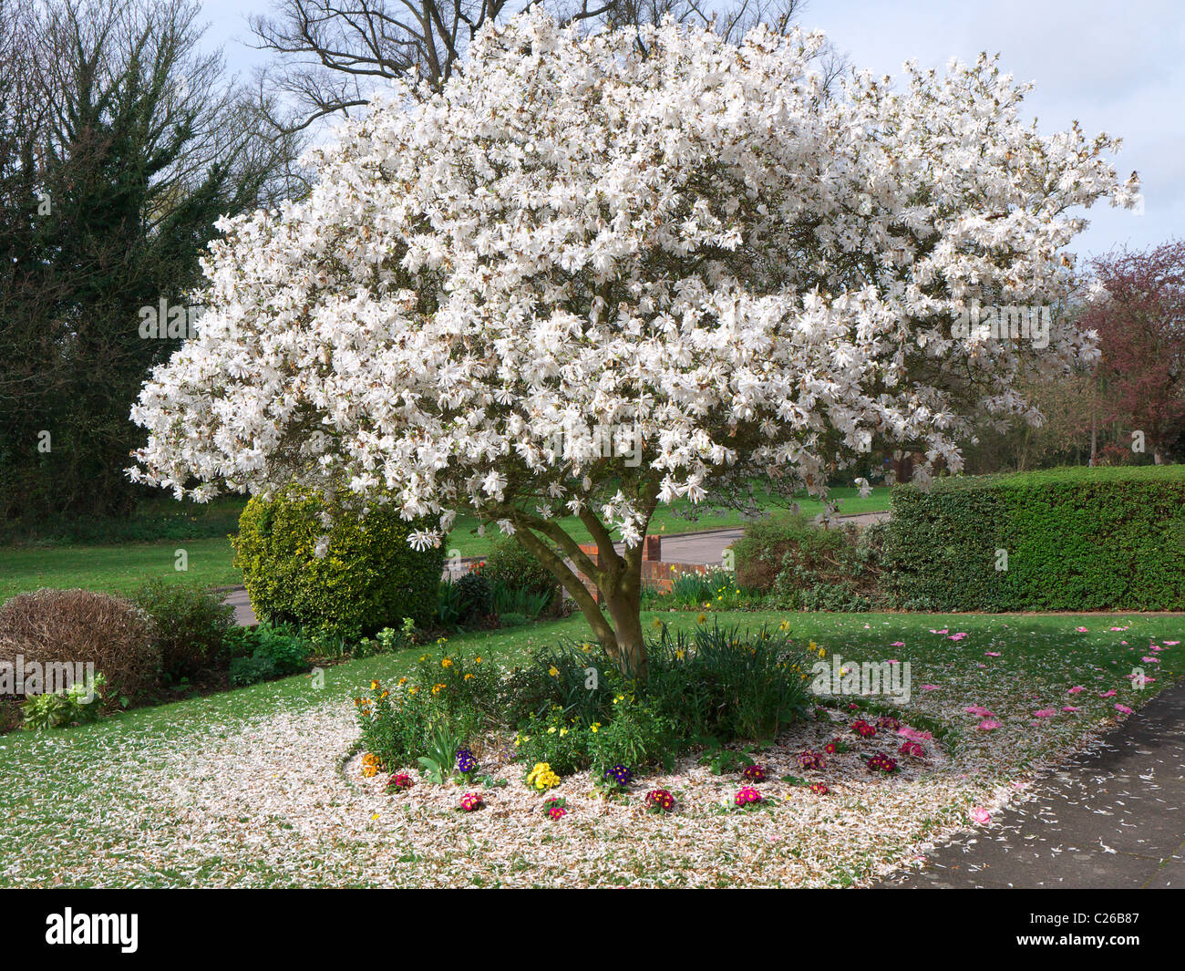 A Beautiful Blooming White Magnolia Tree Surround By A Carpet Of