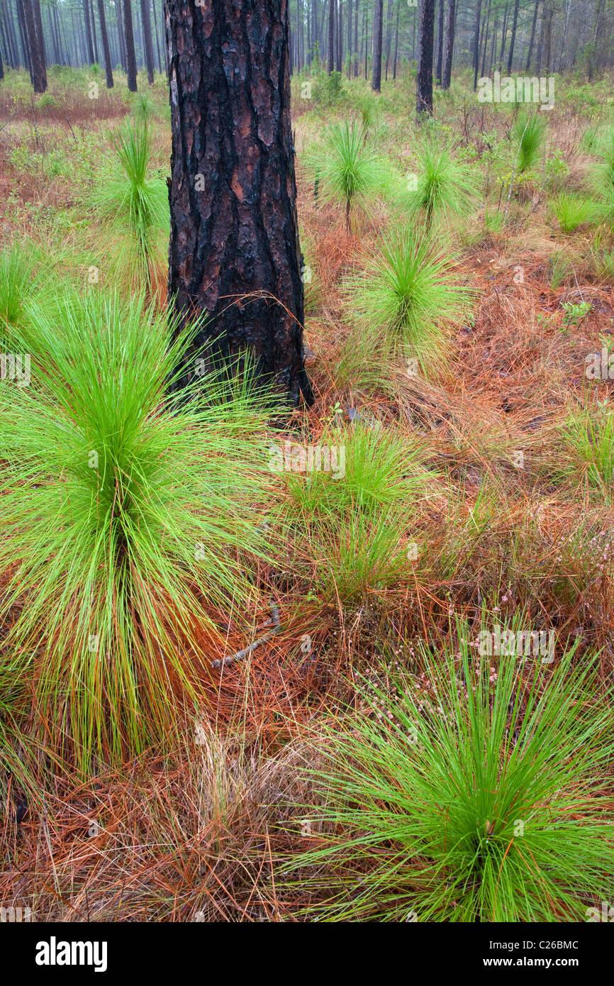 longleaf pine (Pinus palustris) savanna, Croatan National Forest, North Carolina - Stock Image