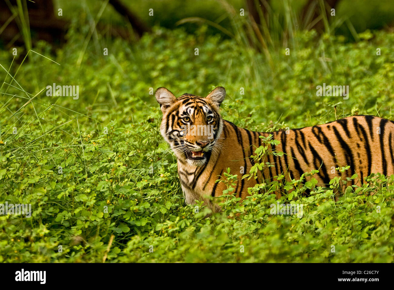 Tiger in green bushes of Ranthambhore after the monsoon rains - Stock Image