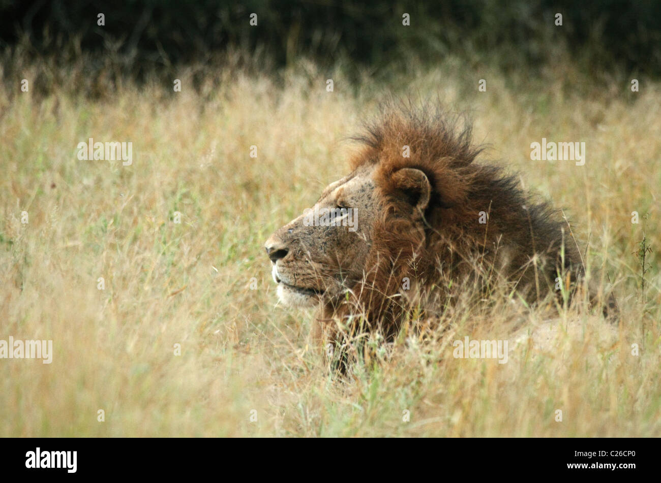 Lion, male head shot in long grass - Stock Image