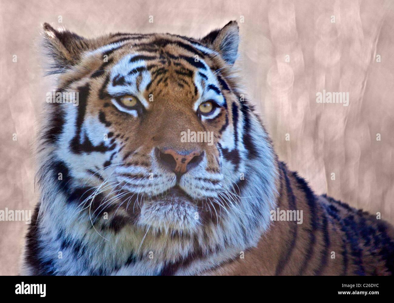 Amur Tiger (panthera tigris altaica) Stock Photo
