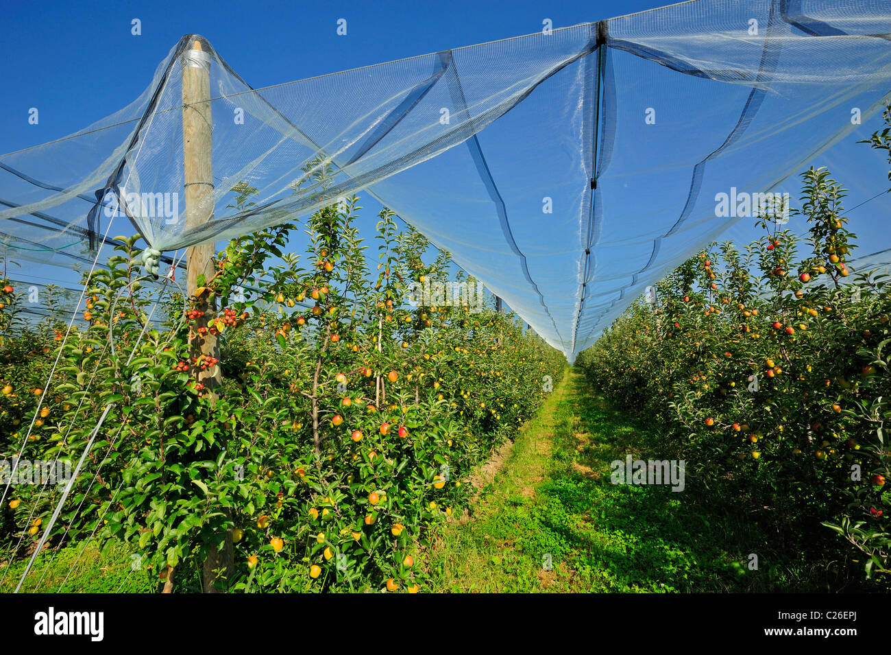 A Swiss apple orchard with hail protection nets. A crab apple pollen-producing tree is planted at the end of the - Stock Image