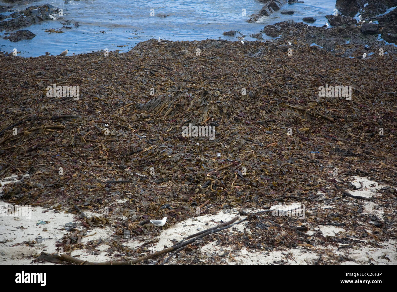 Seaweed washed up on beach in Cape Town Stock Photo