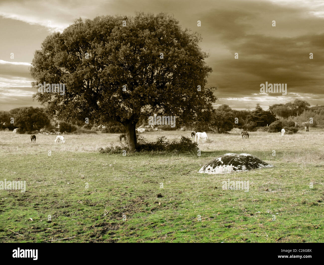 Oak and horses in gray tones - Stock Image
