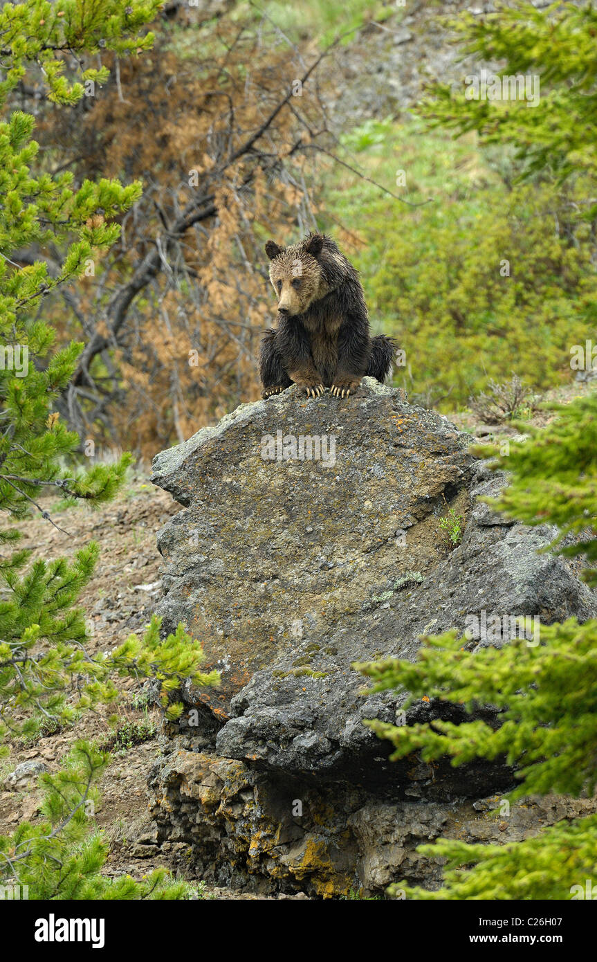 Grizzly Bear on large boulder. - Stock Image