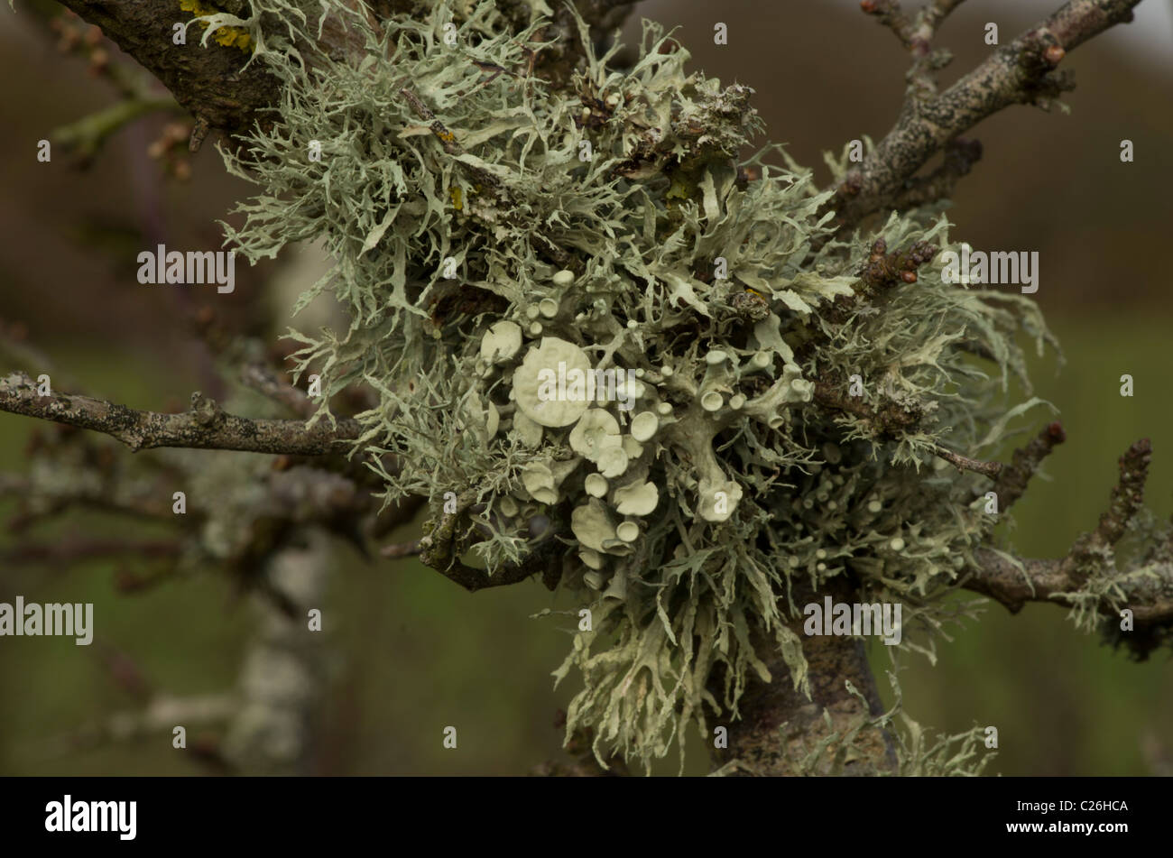 Ramalina lichen on a tree branch, a fairly common in areas of clean air - Stock Image