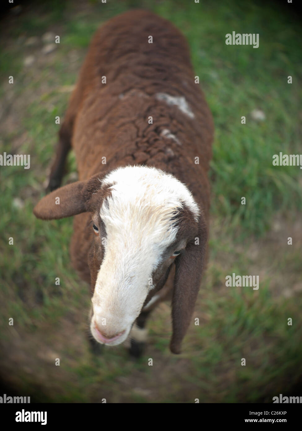 Lamb close-up with shallow DOF and lens vignette - Stock Image