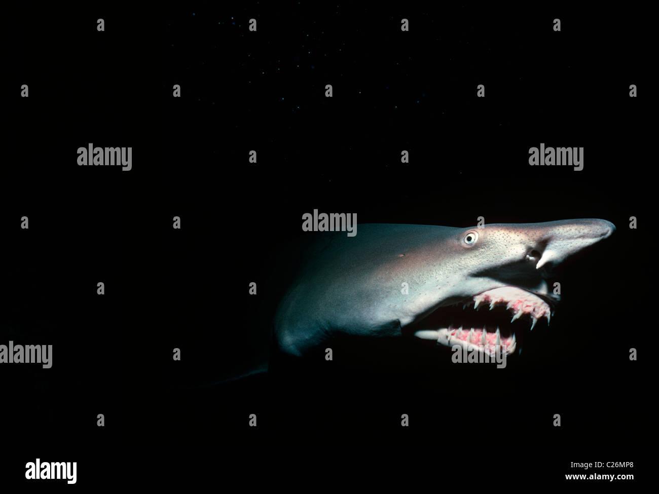 Sand Tiger Shark at Night (Eugomphodus taurus). Galapagos Islands, Pacific Ocean. - Stock Image