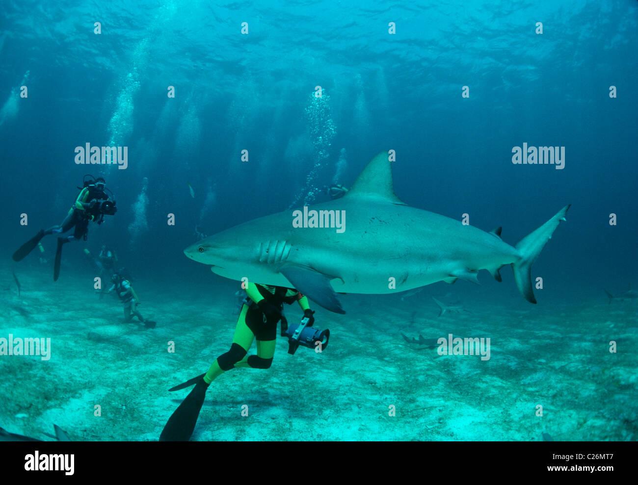 Scuba divers photograph Caribbean Reef Shark (Carcharhinus perezi). Walker's Cay, Bahamas. Caribbean Sea Stock Photo