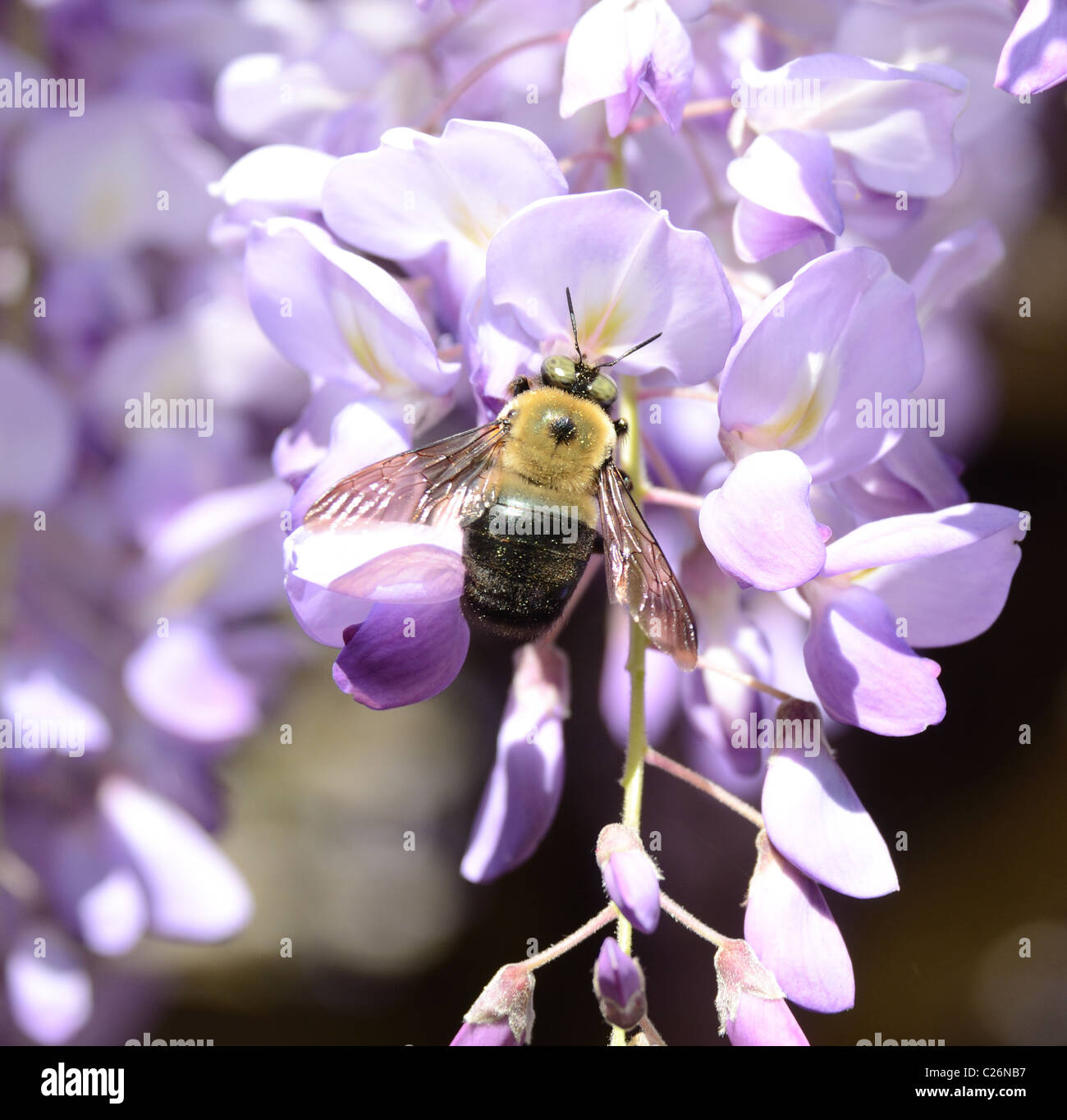 A carpenter bee collecting pollen from a Wisteria flower. - Stock Image