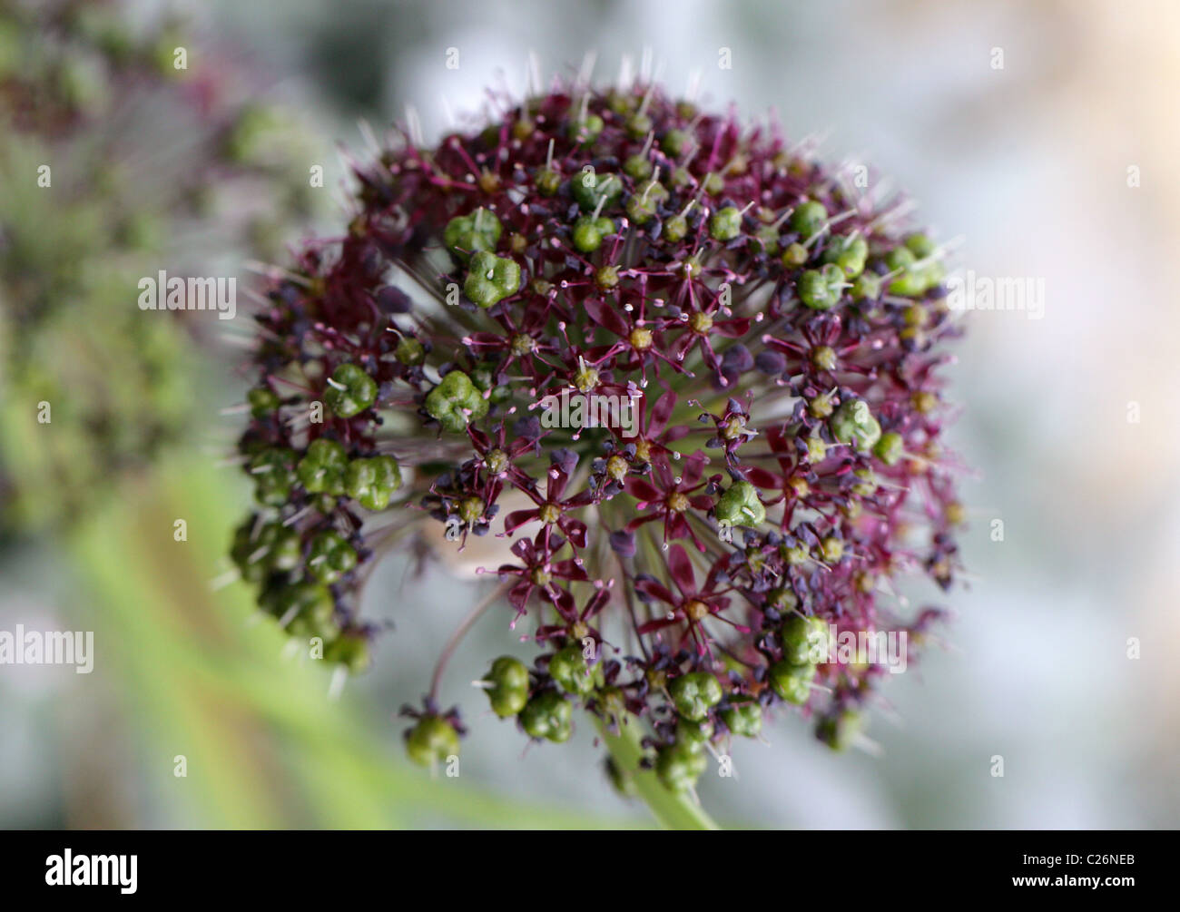 Himalayan Onion, Allium wallichii, Alliaceae, Himalayas. - Stock Image