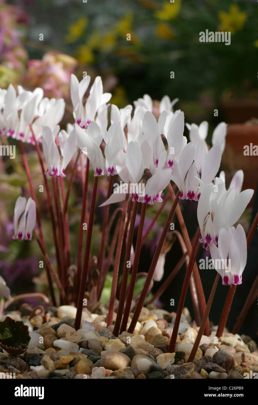 Cyprus Cyclamen, Cyclamen cyprium, Myrsinaceae, Cyprus. - Stock Image