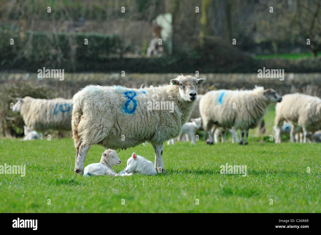 Ewes & Lambs in a field - Stock Image
