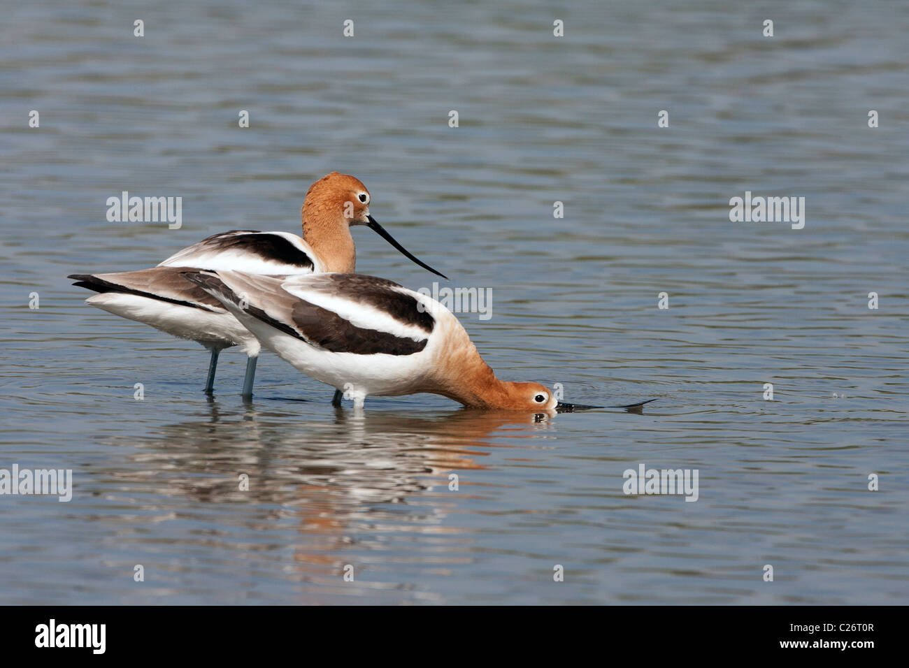 American Avocets in Pre Mating Posture - Stock Image