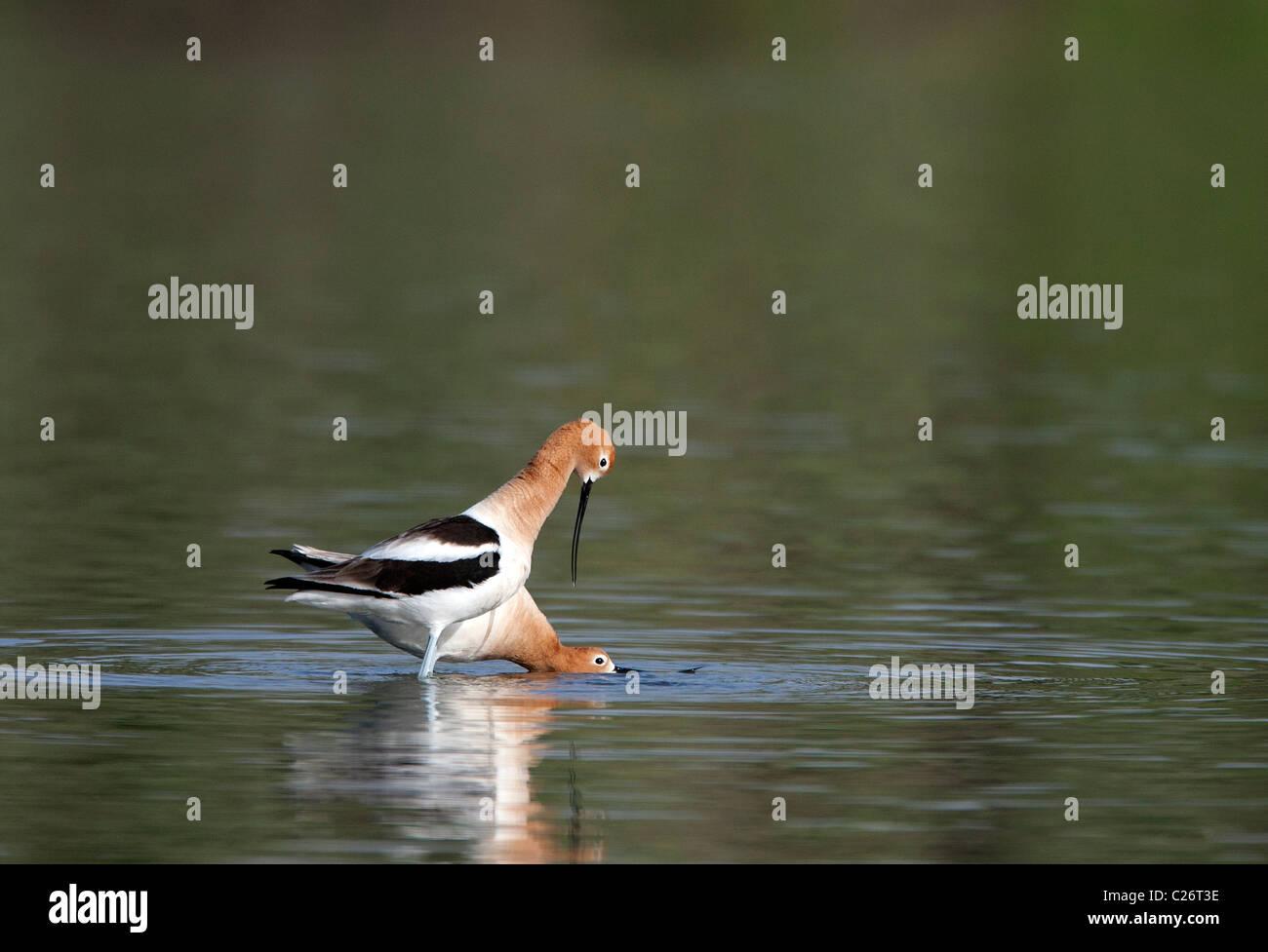 American Avocets Demonstrating Pre Mating Behavior - Stock Image