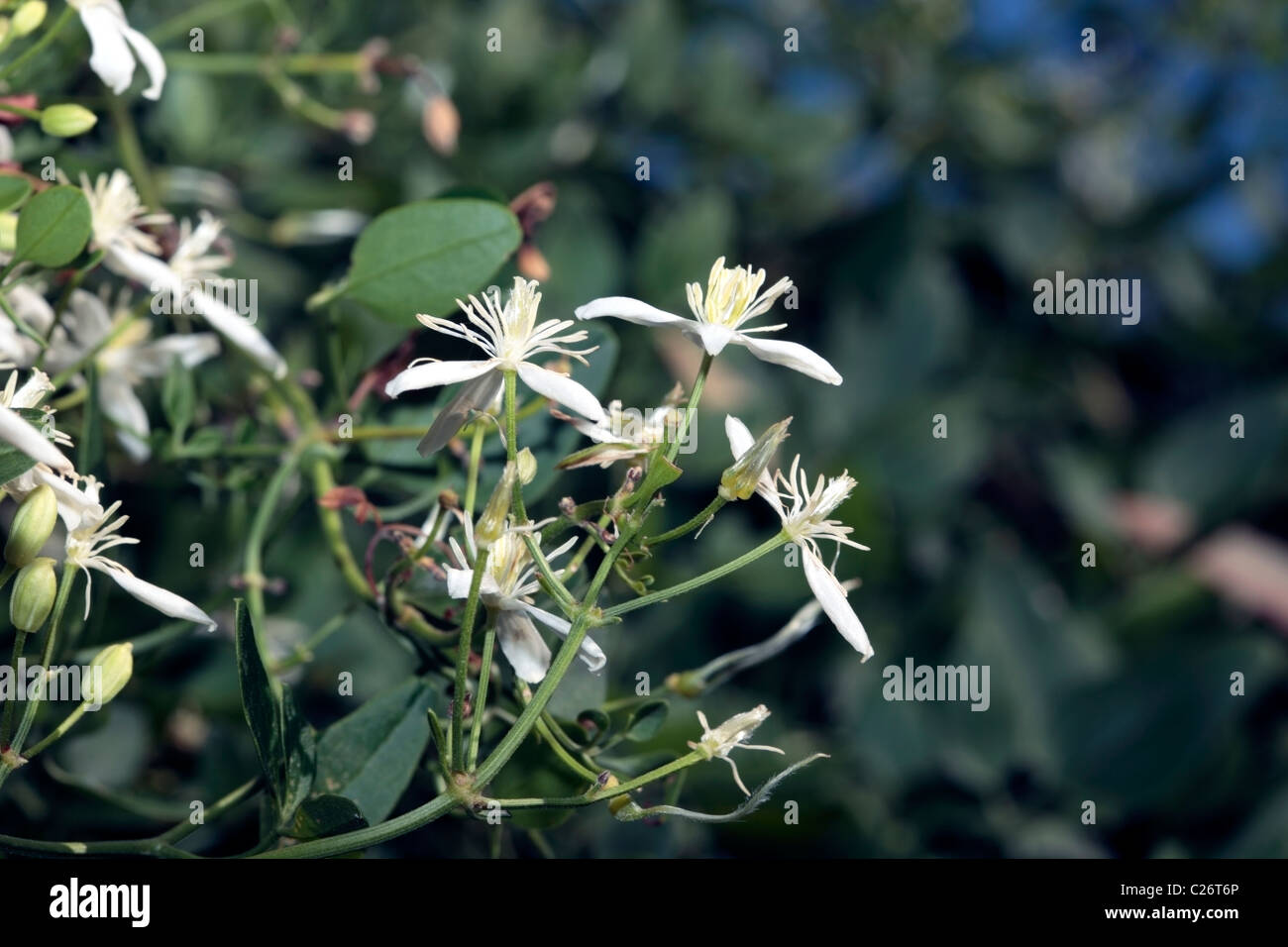 Close-up of Traveller's Joy/ Old Man's Beard/ Goatsbeard flowers- Clematis aistata- Family Ranunculaceae - Stock Image