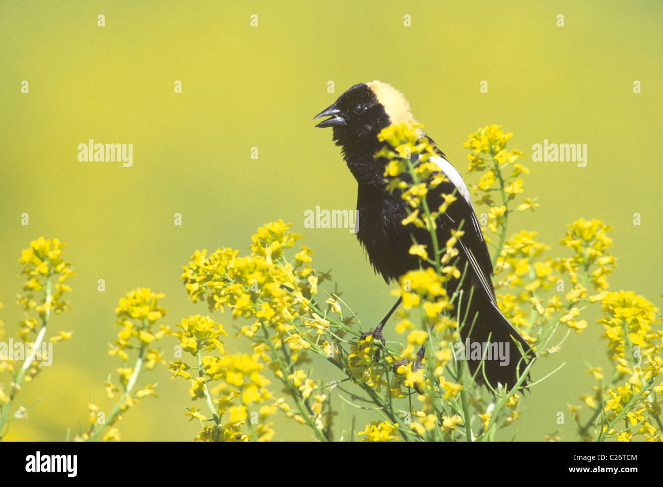 Bobolink perched in Mustard Flowers - Stock Image