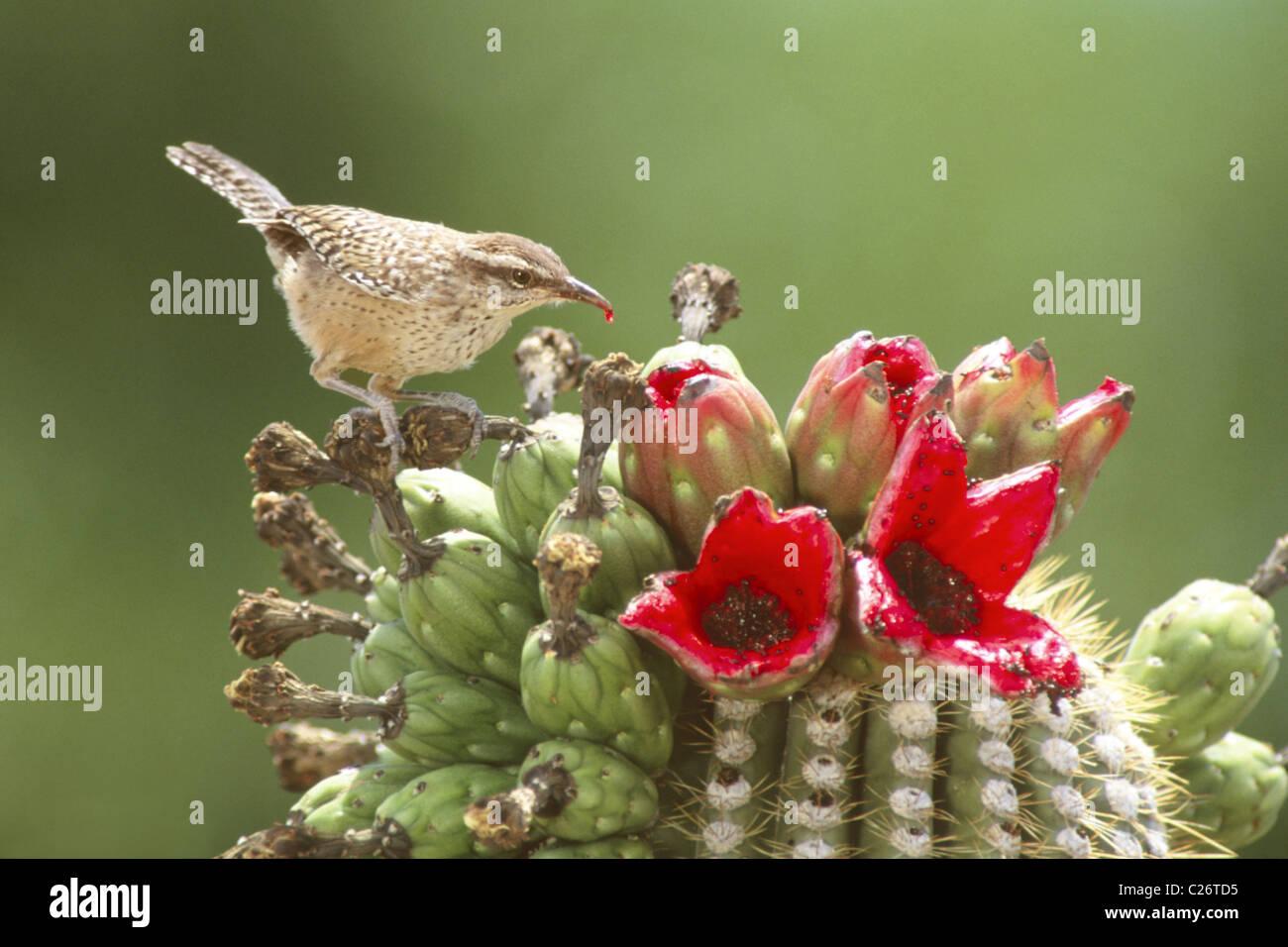 Cactus Wren Feeding on Sagaro Cactus Fruit - Stock Image