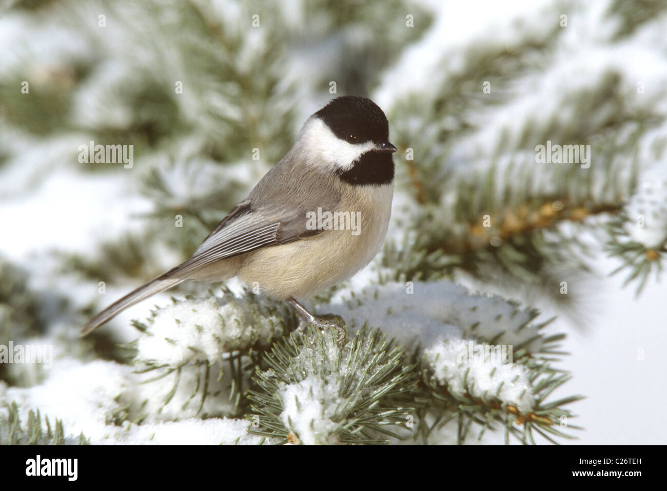 Carolina Chickadee in Snow Covered Spruce - Stock Image