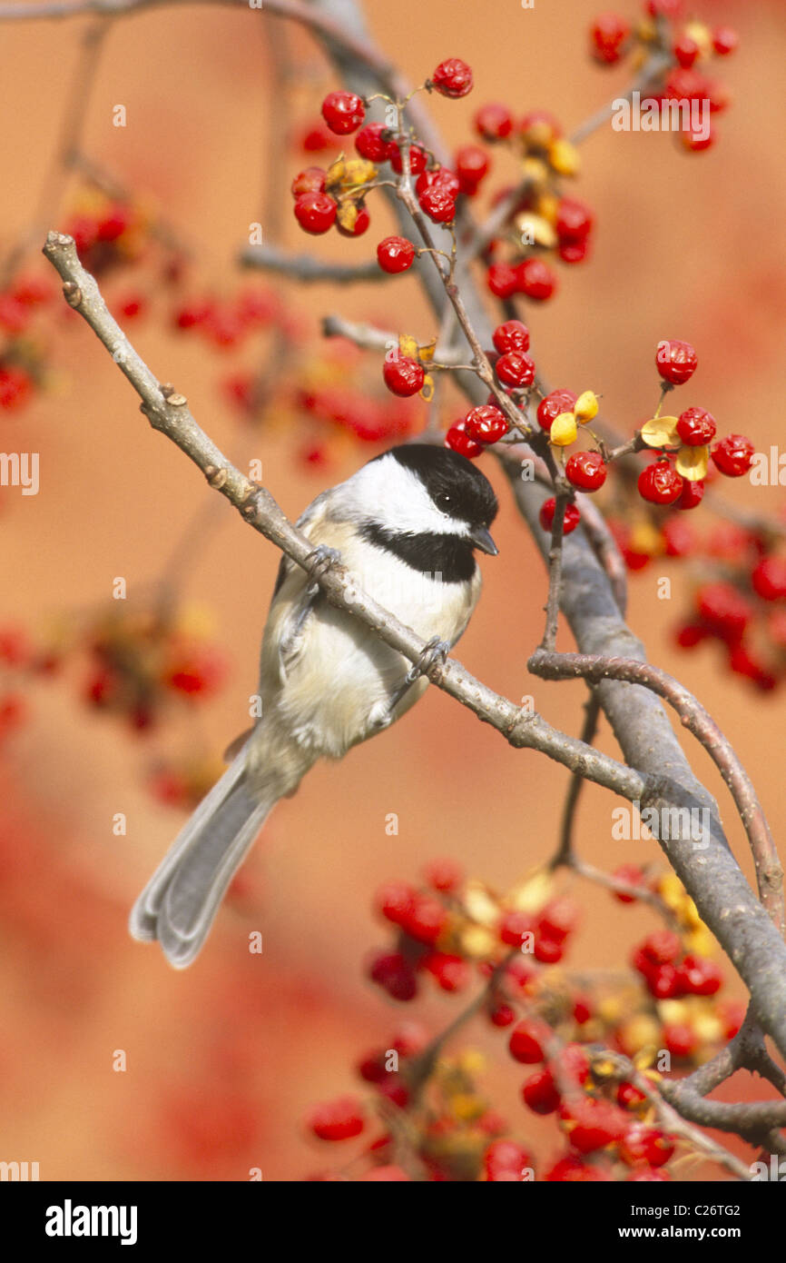 Carolina Chickadee perched in bittersweet berries - Stock Image