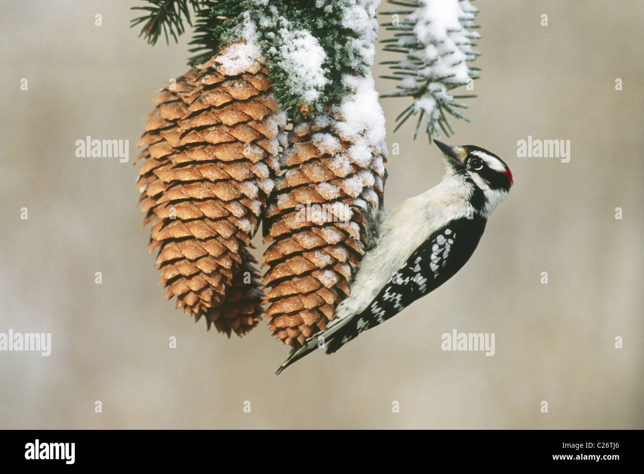 Downy Woodpecker on Spruce Cones - Stock Image