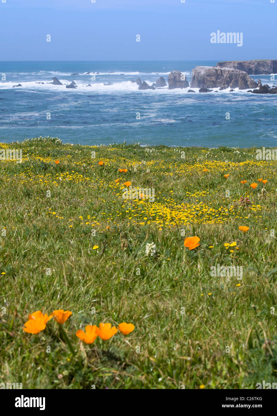 Wildflower patch on rocky shoreline, Central California, USA - Stock Image