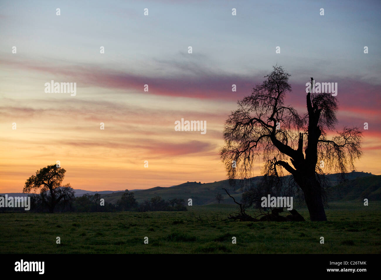 Coast Live Oak tree (Quercus agrifolia) in open field, back lit by sunset - California USA - Stock Image