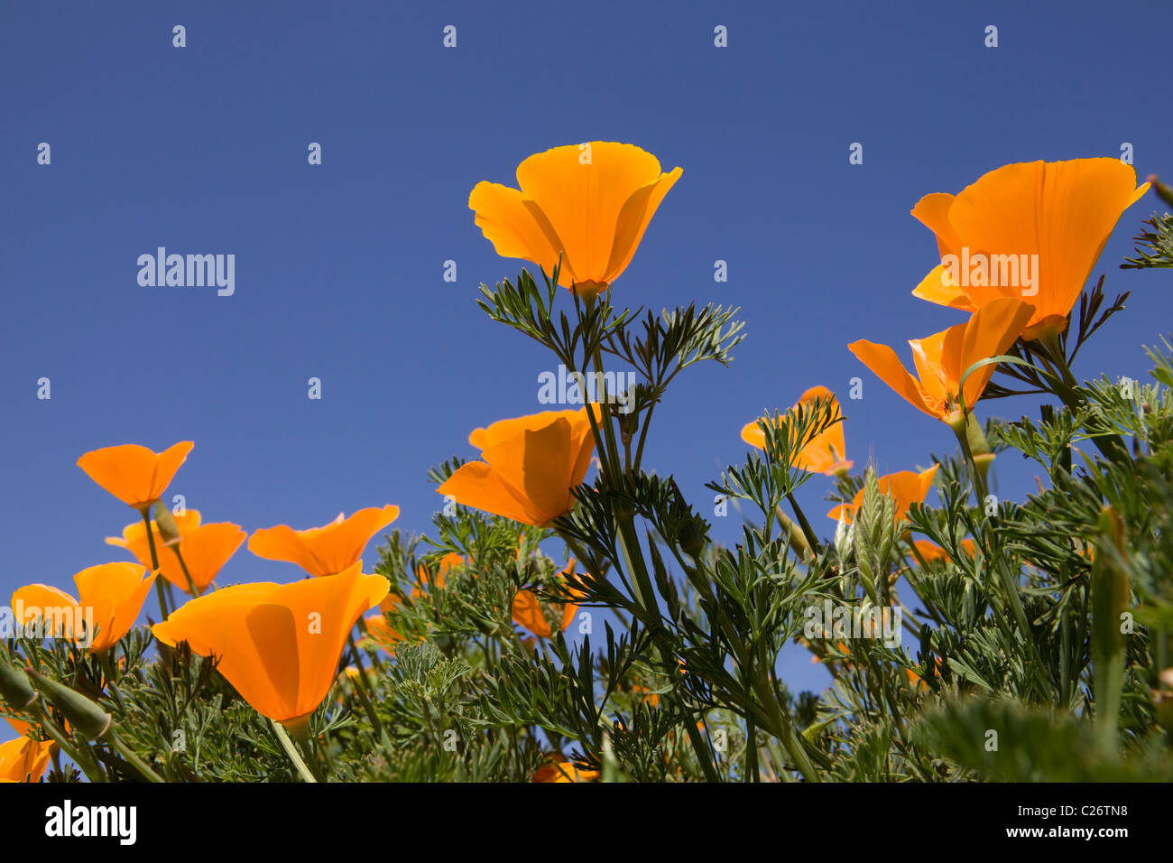 A field of California Poppies - Point Buchon State Marine Reserve and Marine Conservation Area - California USA - Stock Image