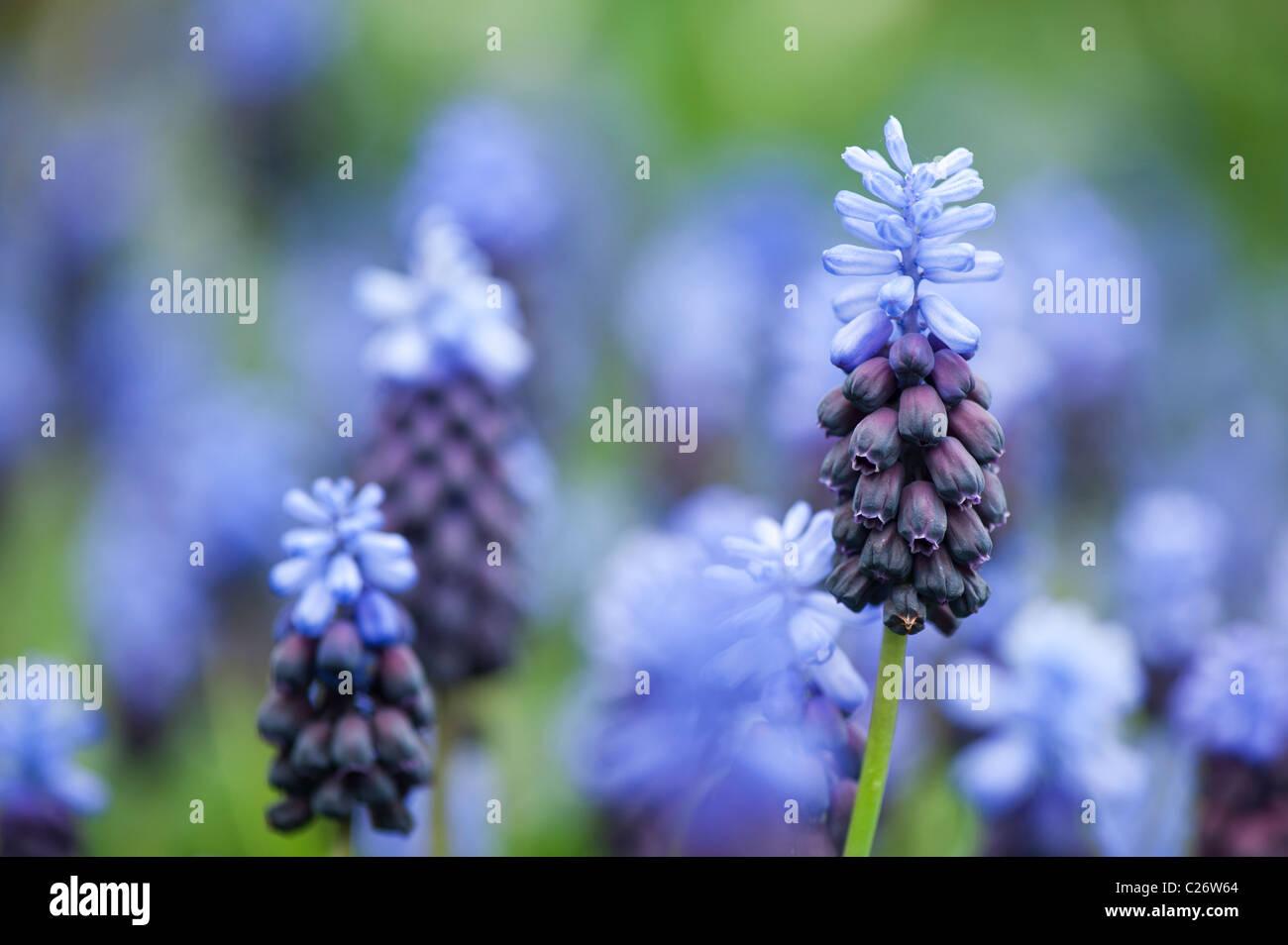 Muscari latifolium. Broad Leaved Grape Hyacinth flowers - Stock Image