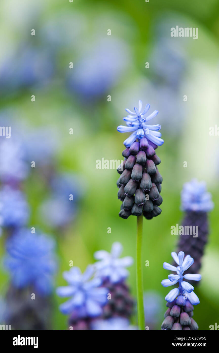 Muscari latifolium. Broad Leaved Grape Hyacinth flowers - Stock Image