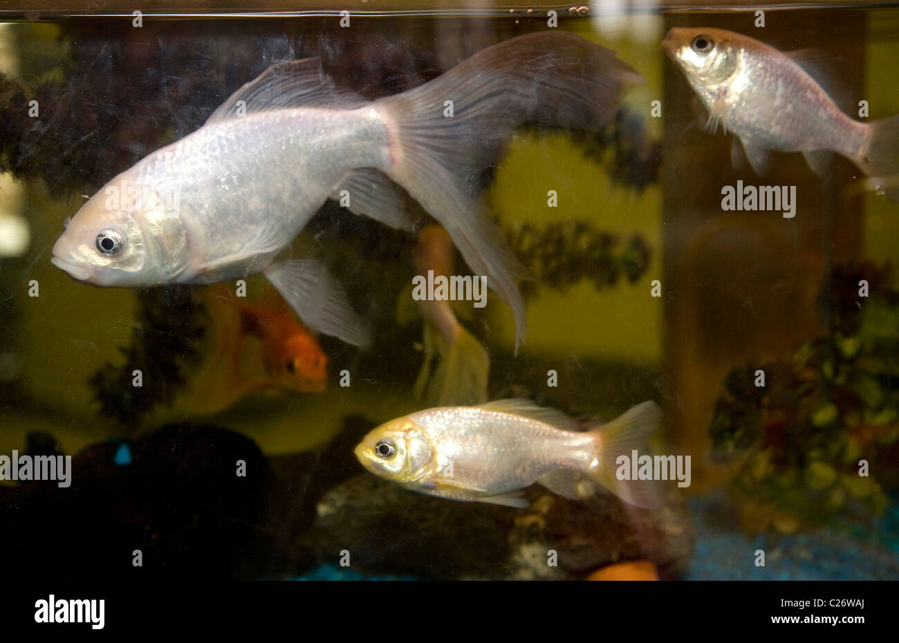 Tropical fish in a fish tank - Stock Image