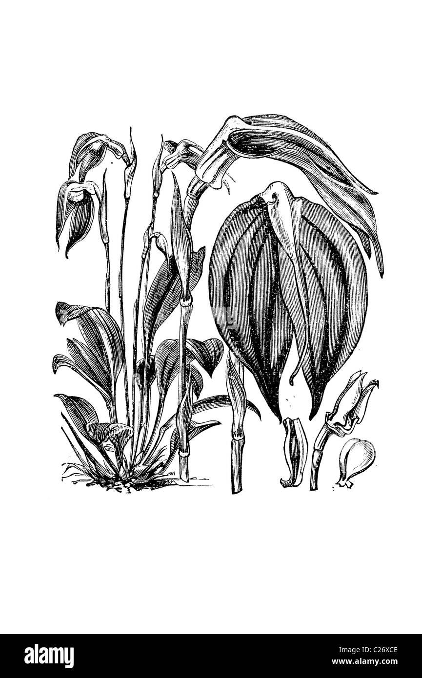 Glowing Masdevallia, M ignea, Victorian engraving, 19th century illustration - Stock Image