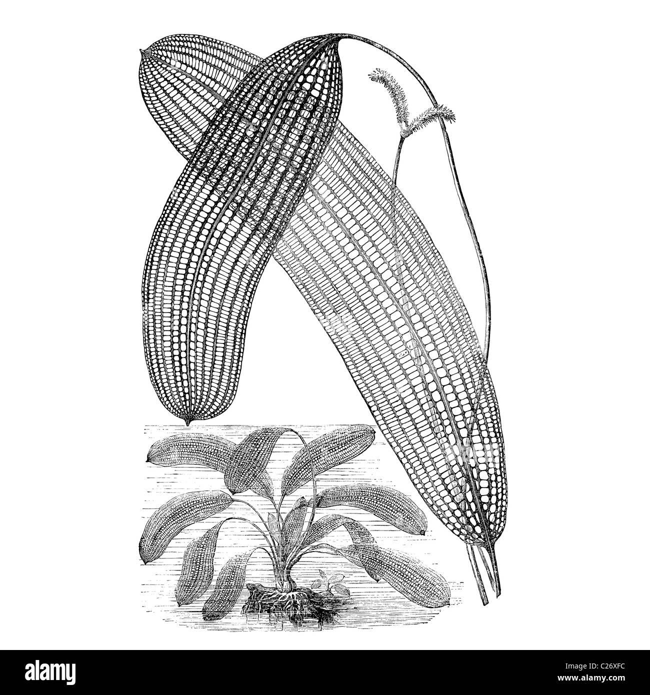 Lattice Leaf Plant, Ouvirandra fenestralis, Victoria engraving, 19th century illustration - Stock Image