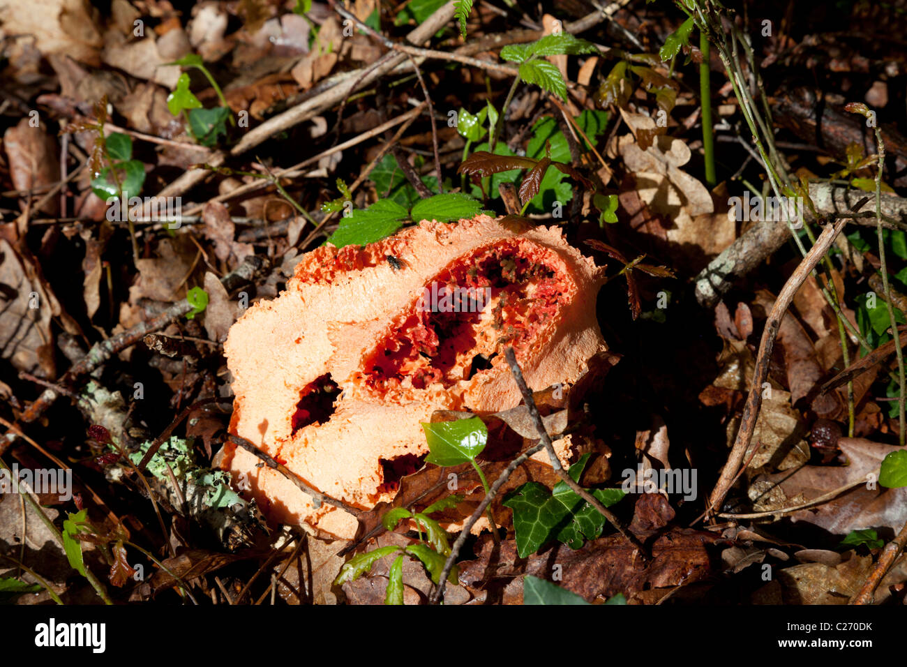 The weird red cage fungus showing its hollow lattice structure. Le champignon Clathre rouge montrant sa structure - Stock Image