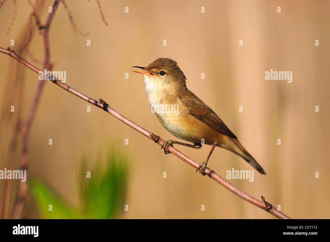 A Reed Warbler Singing From A Twig In A Reedbed Uk Stock Photo Alamy