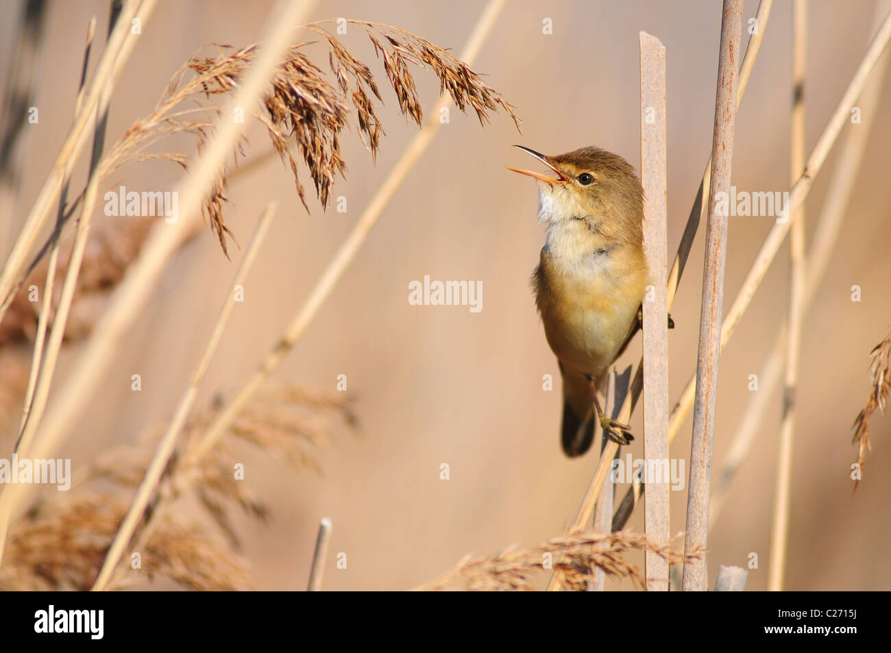 A reed warbler singing in the reeds UK - Stock Image
