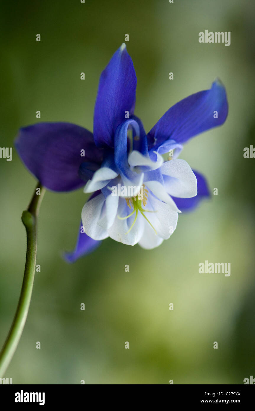 Close-up image of the beautiful spring flowering, blue Aquilegia flower also known as the columbine or Granny's - Stock Image