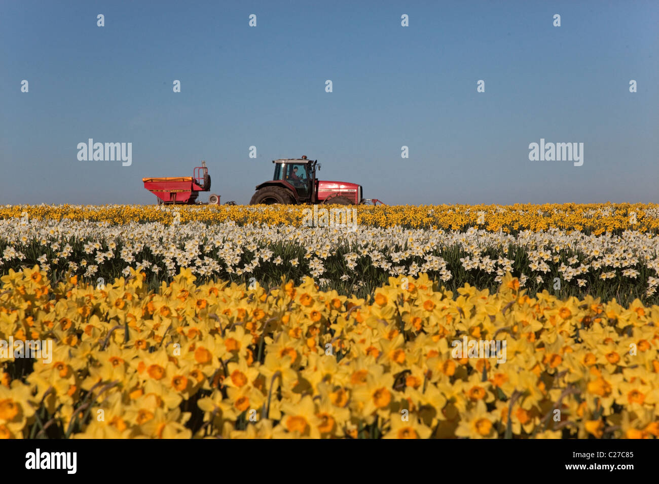 Commercially grown daffodils for the Easter cut flower market and tractor spreading fertilizer in next field - Stock Image