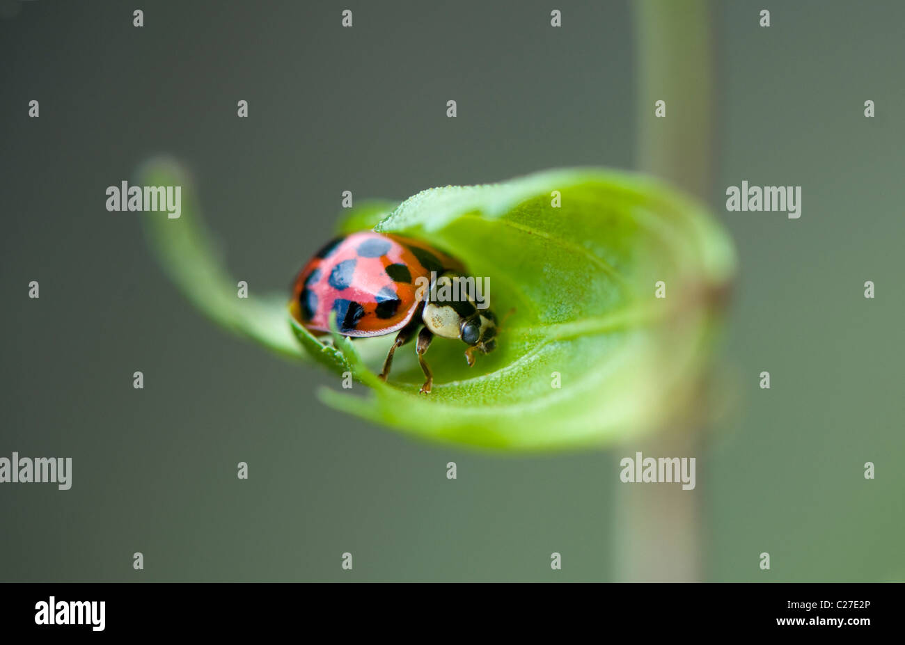 Harlequin Ladybird - Harmonia axyridis Stock Photo
