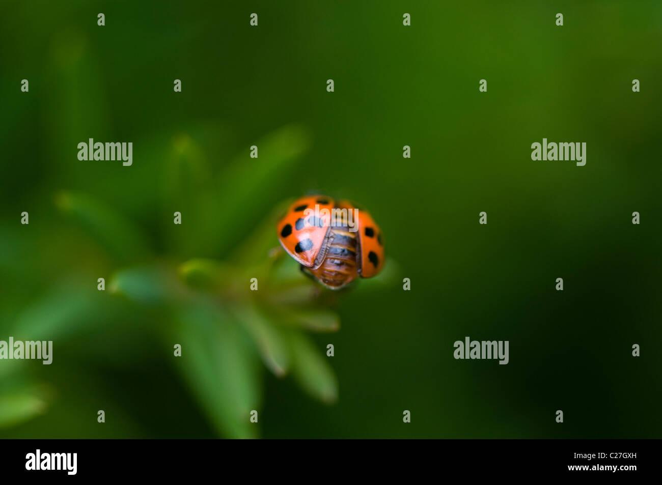 Harlequin Ladybird - Harmonia axyridis Stock Photo