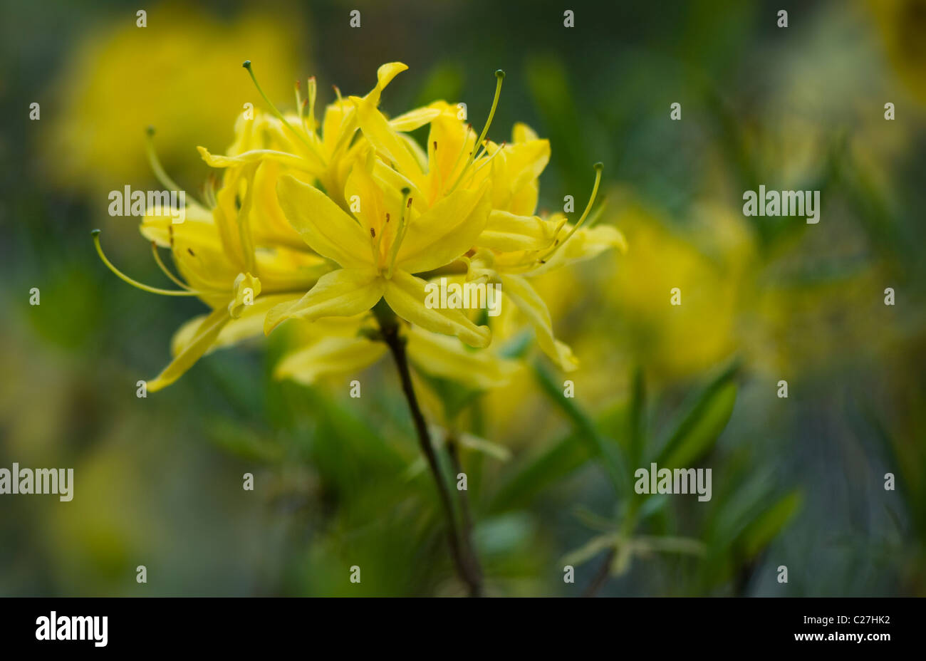 Azalea  Rhododendron Luteum - Yellow Azalea or Honeysuckle Azalea Stock Photo