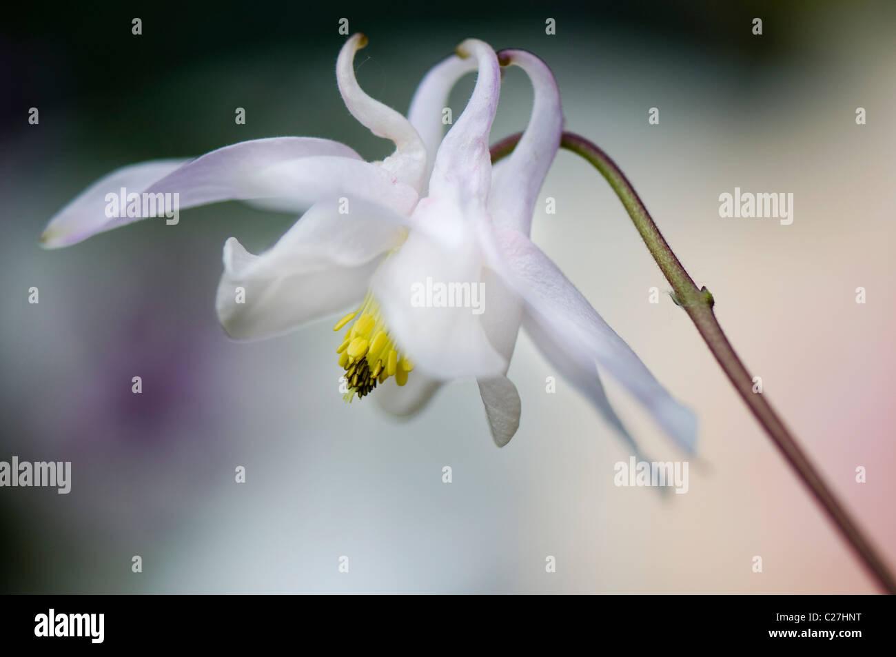 A single white Aquilegia vulgaris flower - columbine - Stock Image