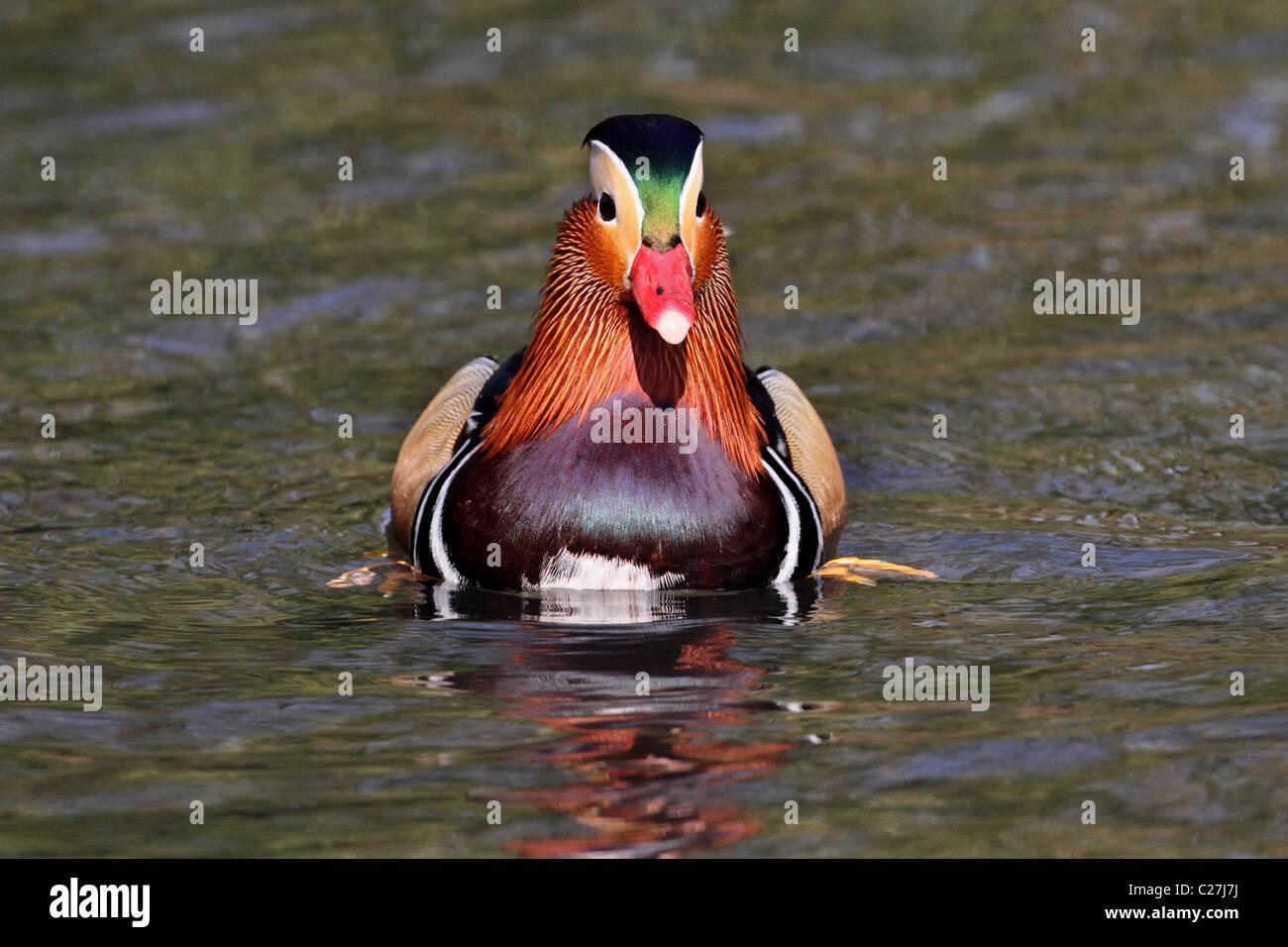 Mandarin Duck Aix galericulata - Stock Image