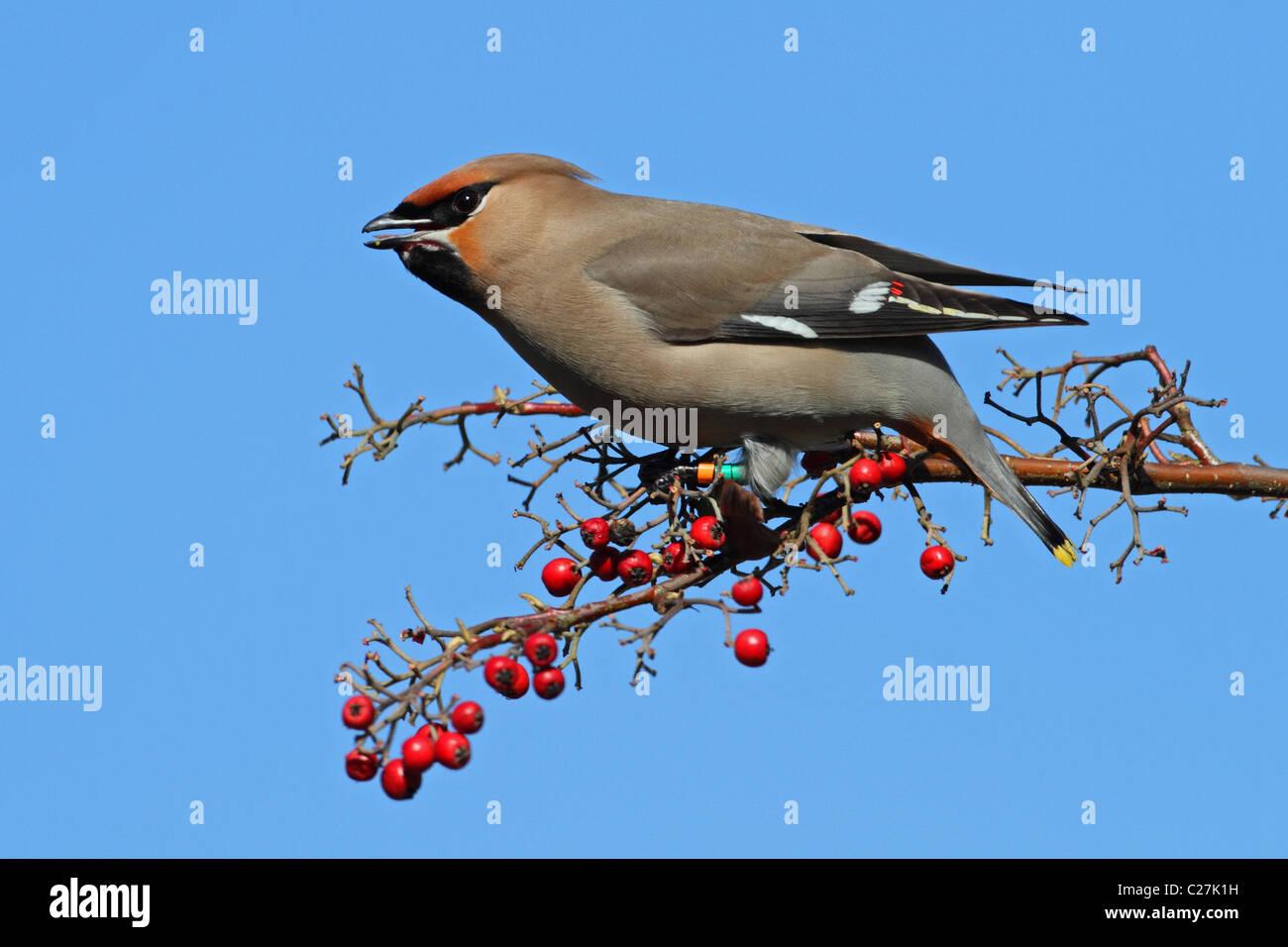 Bohemian Waxwing bird ring eating berries Bombycilla garrulus - Stock Image