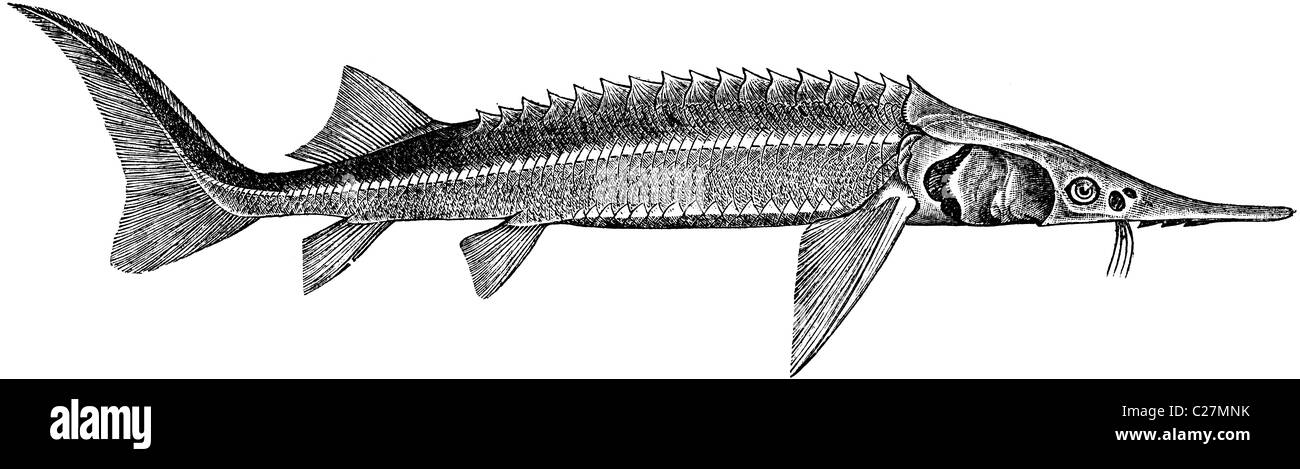 19th Century book illustration, taken from 9th edition (1875) of Encyclopaedia Britannica, of Sterlet - Stock Image