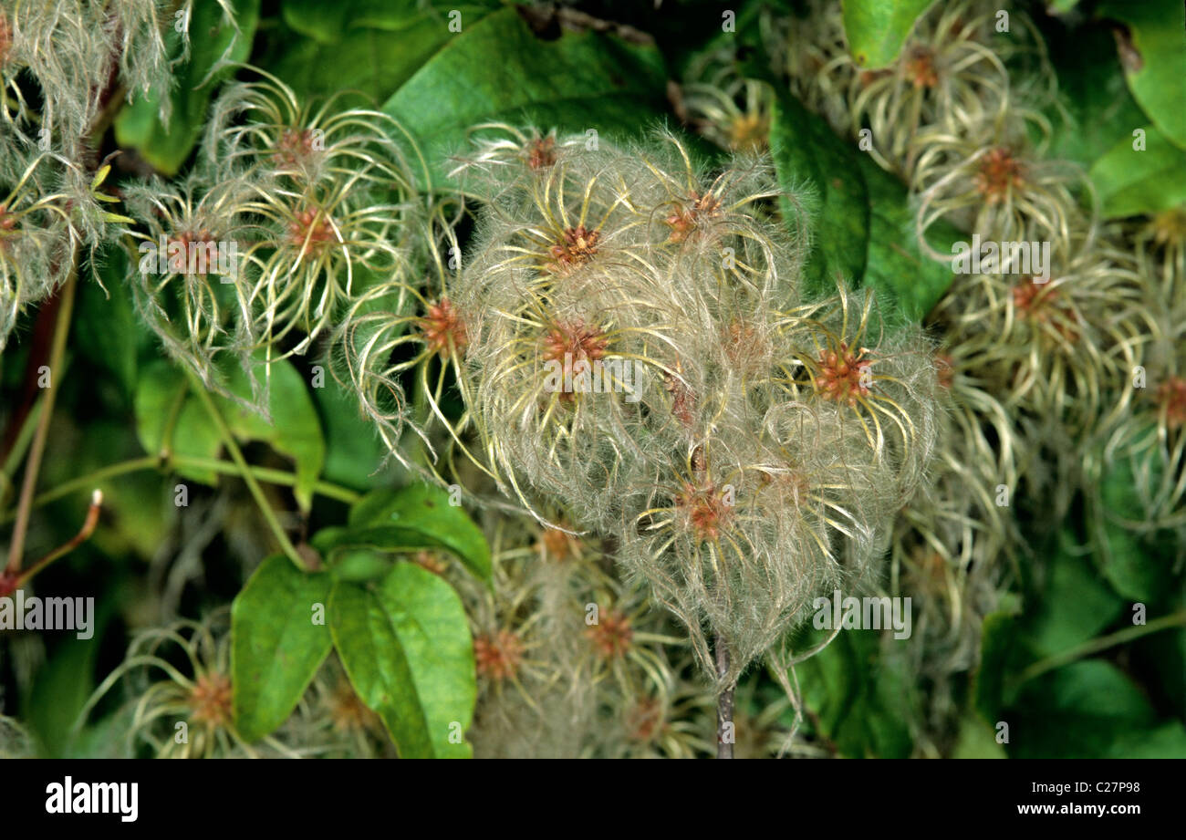 Traveller's joy, wild clematis, old mans beard (Clematis vitalba) seeding climber Stock Photo