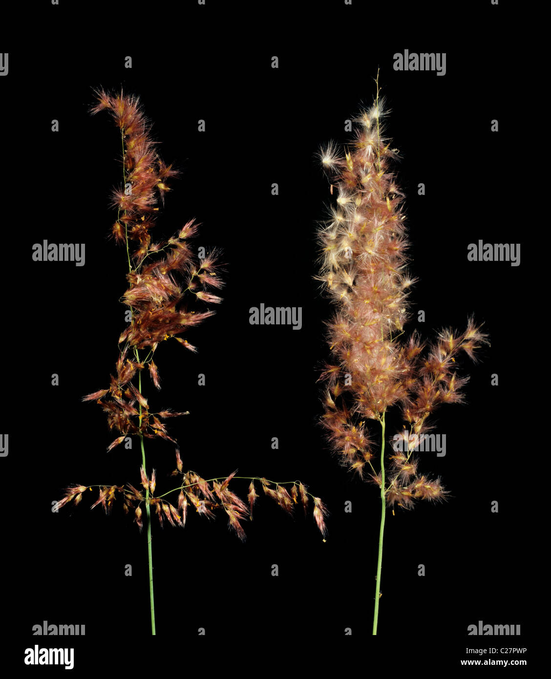 Rose Natal grass or Natal redtop (Rhynchelytrum repens) grass inflorescenses - Stock Image