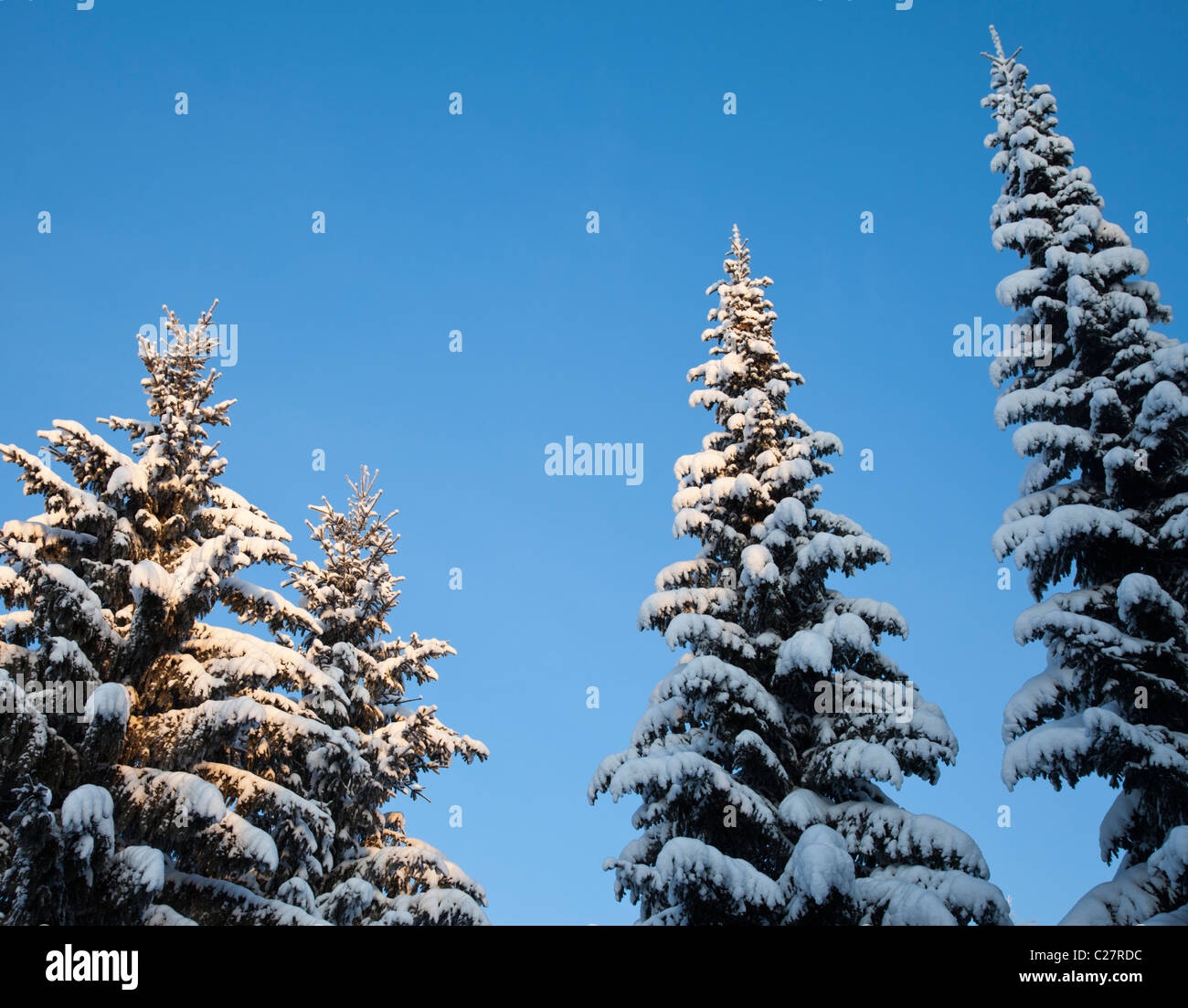 Spruce ( picea abies ) treetops at Winter , Finland - Stock Image